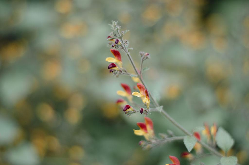 ดอกกำปอง
